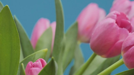Tulips in a close up shot