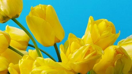 Tulips on blue background