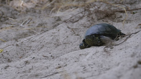 Turtle crawling on the sand on the beach