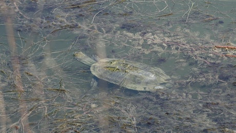 Turtle eating in a turbid pond