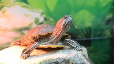 Turtle sitting on a rock