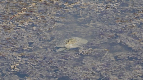 Turtle swimming in a muddy pond