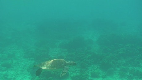 Turtle swimming in a turquoise sea