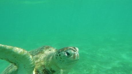 Turtle swimming just below the surface