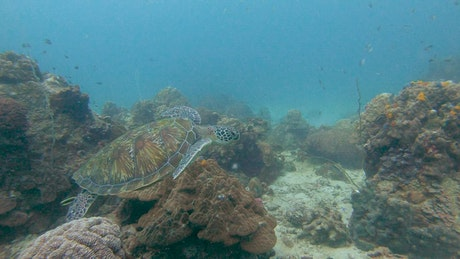 turtle swimming quietly on a reef