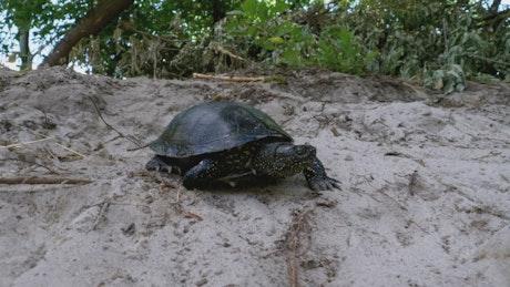Turtle walking on the sand near the beach