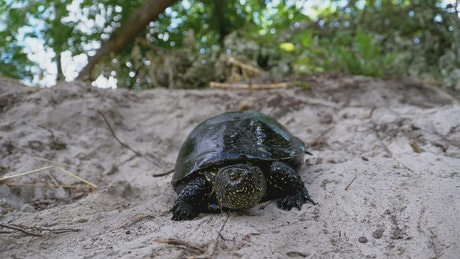 Turtle walking slowly in the sand