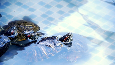 Turtles swimming in a tub, close view