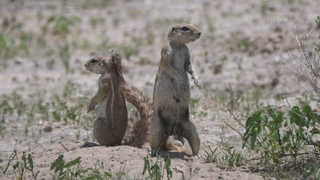 Two African ground squirrels on the field