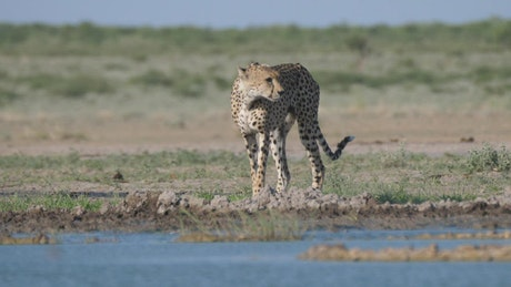 Two Cheetahs around a water hole