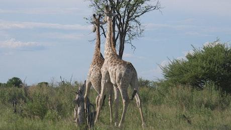 Two giraffes on the savannah