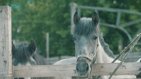 Two horses behind the fence