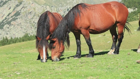 Two horses feeding on grass on a hill