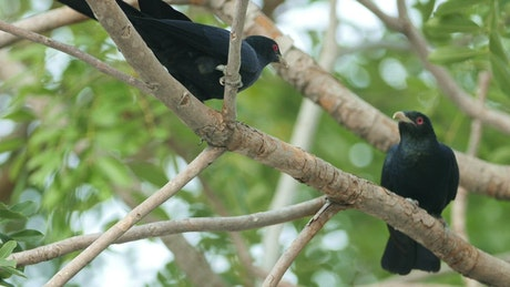 Two Koel in a tree
