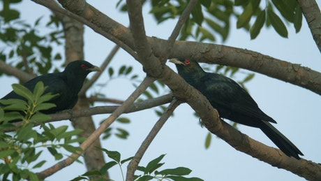 Two Koel resting on branches