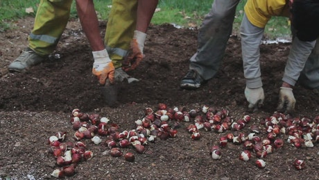 Two men sowing seeds in the ground