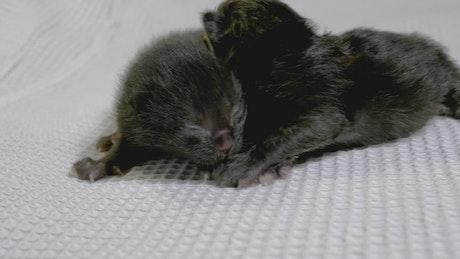Two newborn black cats
