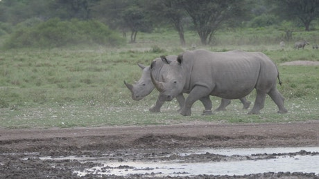 Two rhinos walking in the valley
