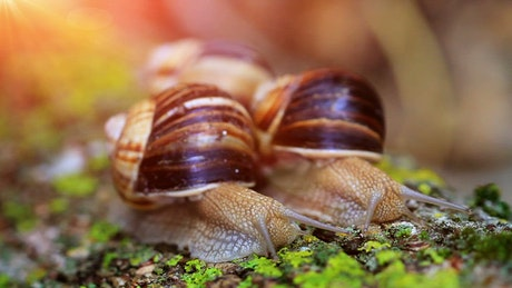 Two snails moving over moss