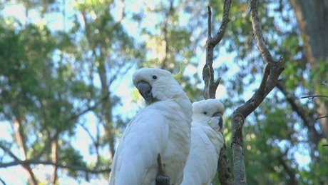 Two white cockatoos in a tree in Australia