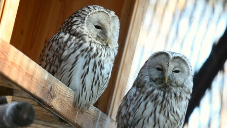 Two white owls staring