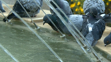Urban pigeons drinking water in a fountain