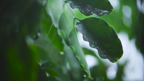 Very close shot of the leaves of a tree wet from the rain