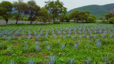 View to an agaves harvest field