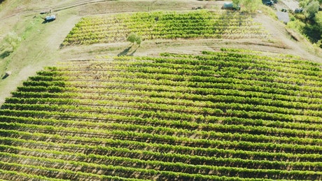Vineyard fields from above