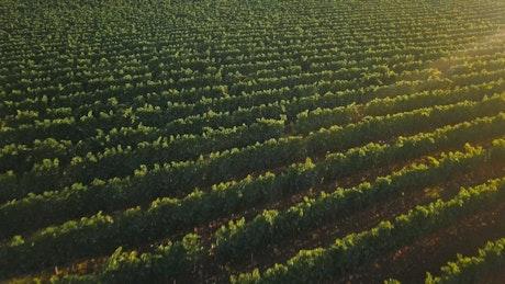 Vineyard in late summer