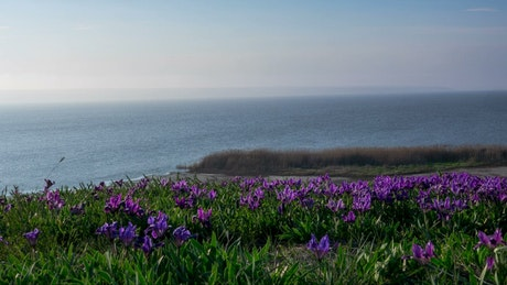 Violet flowers on the meadow by the ocean