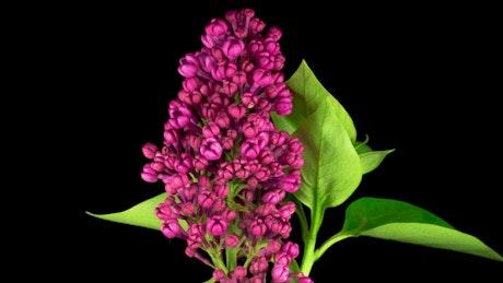 Violet Liliac opening flower
