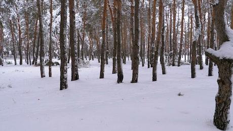 Walking through a snowy forest