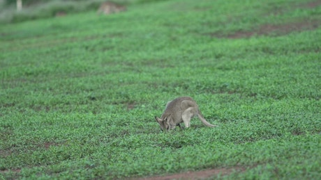 Wallaby grazing