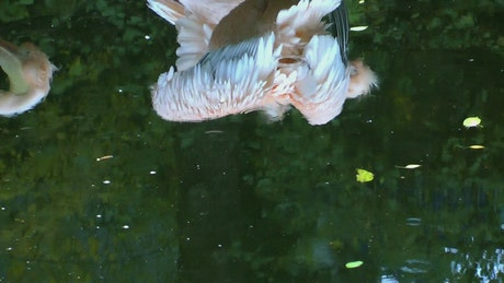 Water reflection of some pelicans