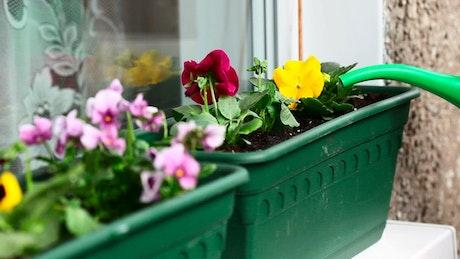 Watering the garden flowers