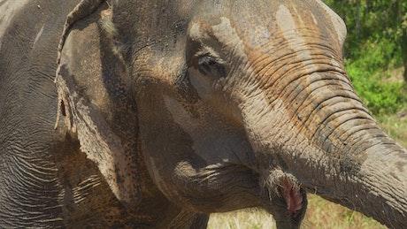 Wet elephant in the savanna