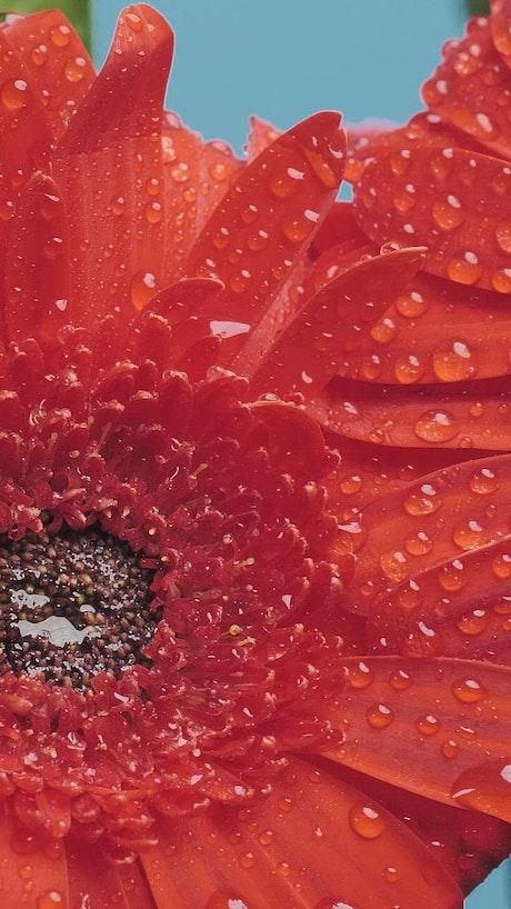 Wet petals of a flower
