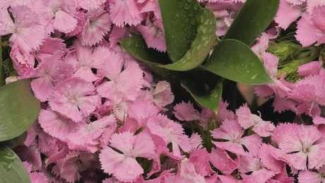 Wet pink flowers