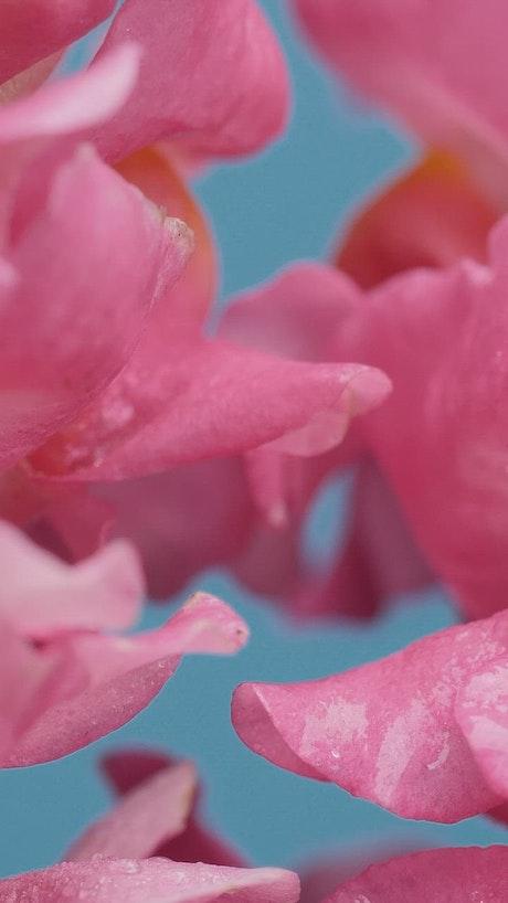 Wet tulip petals texture