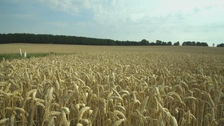 Wheat before harvest