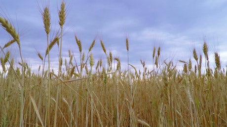 Wheat crops and the sky