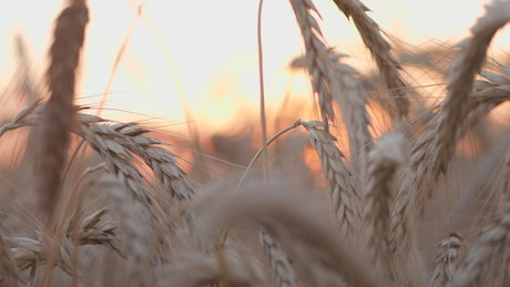 Wheat crops in the sunset