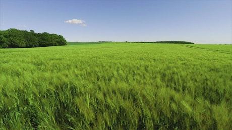 Wheat field growing in summer