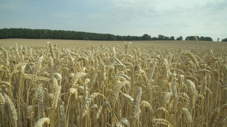 Wheat field ready for harvesting