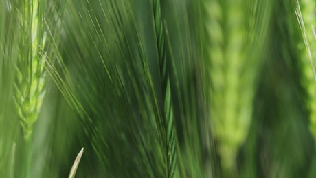Wheat moving in the breeze
