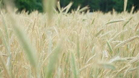Wheat waving gently in slow motion