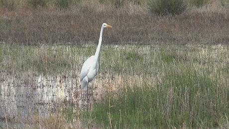 White bird walking the swamp