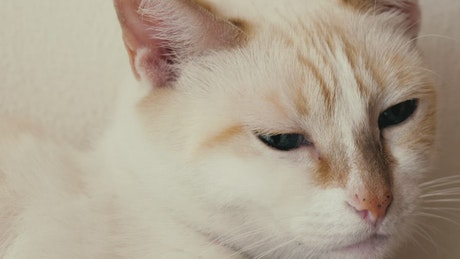 White, blue-eyed cat
