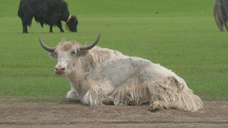 White bull resting in the ground